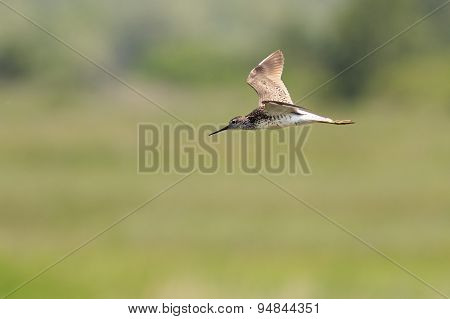 Long billed dowitcher.