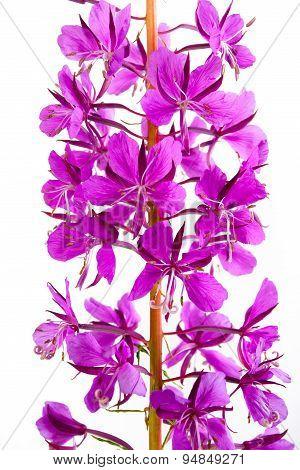 Flowers Of Willow-herb (ivan-tea), Closeup