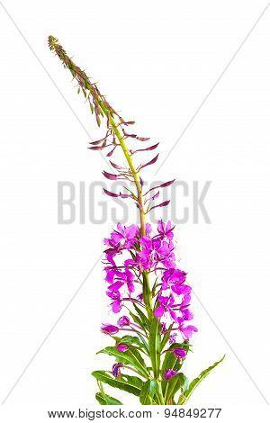 Flowers Of Willow-herb (ivan-tea)