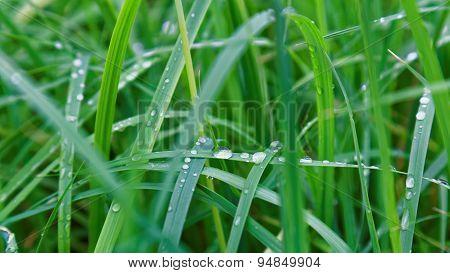 Fresh Water Drop On Green Grass Leaf