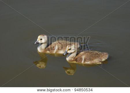 Two Canada Goose Goslings