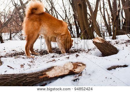 Hunting Dog Digging A Hole