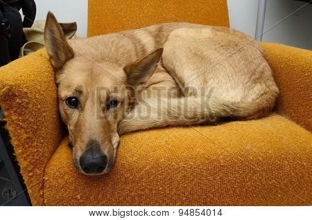 Brown Mongrel Dog Lying In The Orange Chair