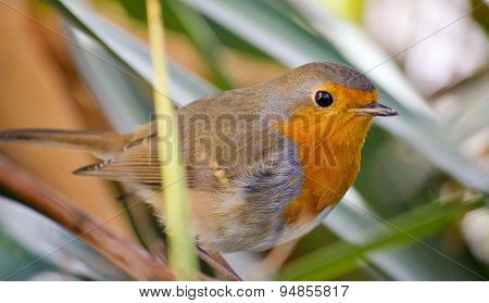 European Robin, Redbreast
