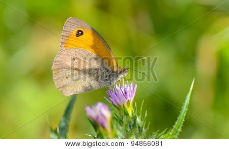 Orange butterfly on a purple flower