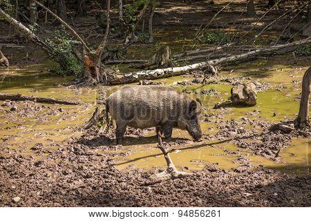 Feral Pig, Wild Hog Boar