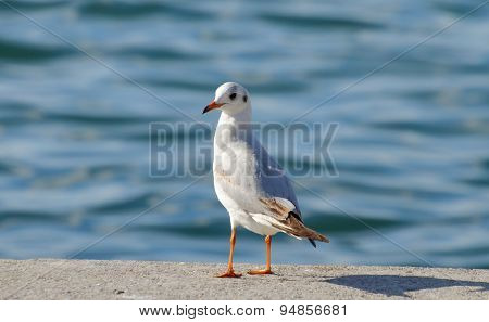 Seagull standing near blue sea