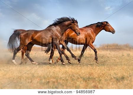 Horse herd in dust