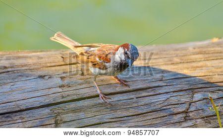 Sparrow on wood