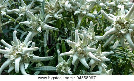 Leontopodium Alpinum, Famous Flower Edelweiss