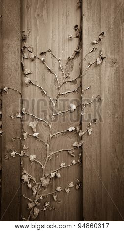 Dried Climber Ivy, Hedera On Old Wooden Background