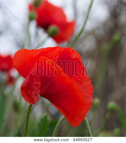 Red poppy, Red poppy close up on green grass background, single poppy, spring summer flower, peprina