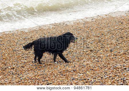 Single black dog playing on beach