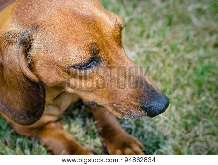Closeup Portrait Of Short Haired Red Dachshund On Grass