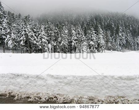 Snowy firs in winter.