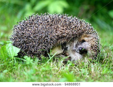 Thick Hedgehog