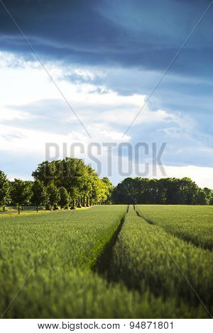 Wheat Field And Country Road With Avenue