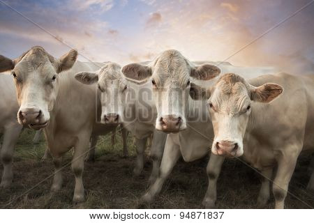 Four White Cows