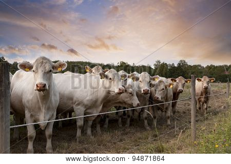 Row Of Cows