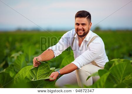 Young Adult Plantation Owner Checks Tobacco Leaves On Farmland