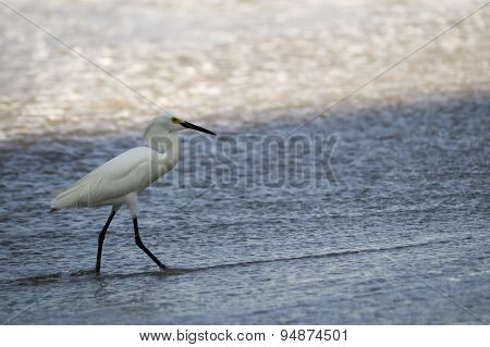Little Egret Bird Wading at the Shore