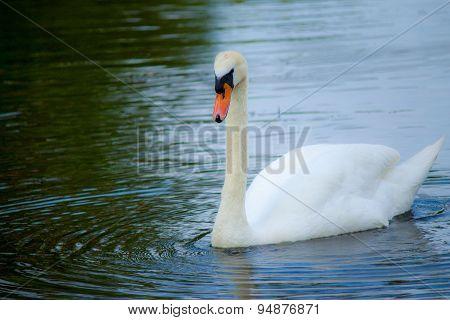 Swan 8