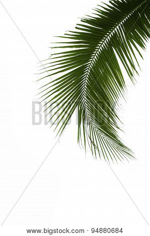 Leaves Of Coconut Tree Isolated On White Background