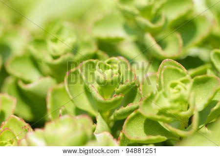 Leaves Of Sedum Closeup