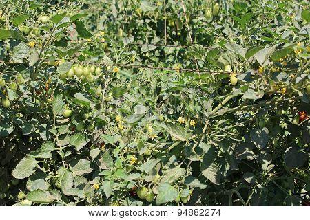 Young Tomatoe Garden