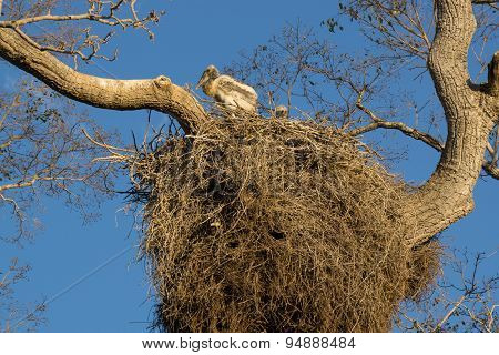 Heron nest with chick in Brazilian Pantanal
