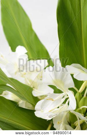 Ginger lily flower