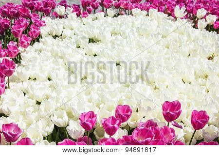 texture background field of white and pink tulips