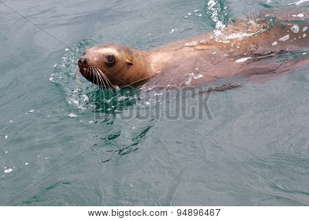 Steller's sea lion swims in the sea