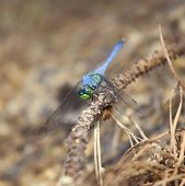 stock photo of stick-bugs  - Dragonfly with a blue body and green in its face on a stick  - JPG