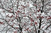 stock photo of rowan berry  - Clusters of red rowan berry under the snow - JPG