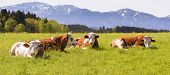 foto of bavaria  - wide panorama landscape in Bavaria Germany with cows in meadow - JPG