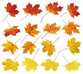 foto of canada maple leaf  - Set of colorful autumn red - JPG