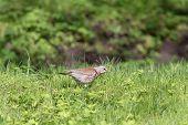 stock photo of brown thrush  - snowbird on the green spring grass  - JPG