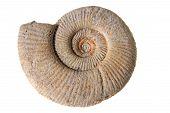 pic of gamma  - Ammonite Perisphinctes White Jura gamma Location - JPG