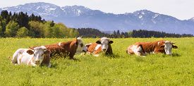 stock photo of bavaria  - wide panorama landscape in Bavaria Germany with cows in meadow - JPG