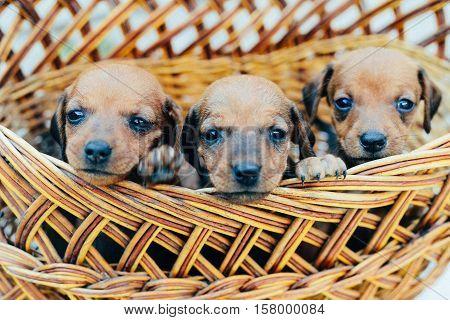 Dachshund Puppy. Dachshund Puppy Portrait Outdoors. Many  Cute