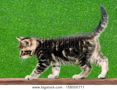 Cute little kitten playing on wooden plank on green background. Playful beautiful young cat. Portrait of domestic funny kitty.