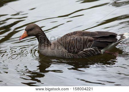 Greylag goose (Anser anser). Wildlife animal.