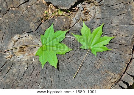 A close up of the green maple leaves on old tree cut.