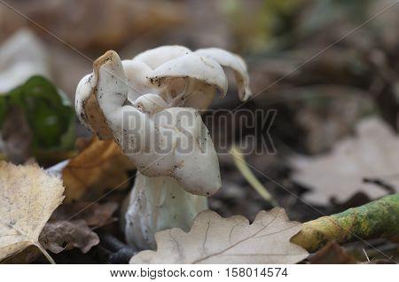 Helvella crispa (white saddle) mushroom close up shot