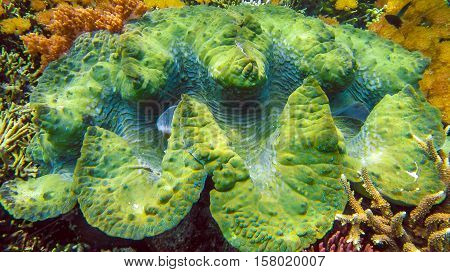A colorful giant clam Tridacna gigas grows in the shallows of Raja Ampat, Indonesia.