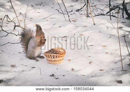cute squirrel eating nut on a snow. Winter