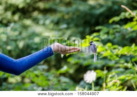Black capped chickadee bird hovering over hand for feeding