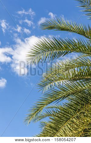 The top of palm leaves with puffy cloudy sky.