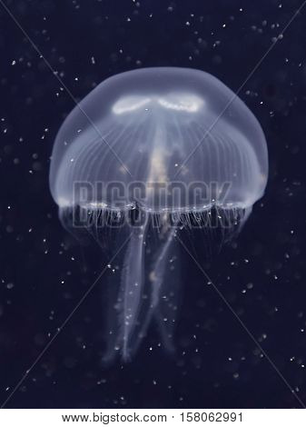 Closeup of the Moon Jelly swimming in its natural habitat